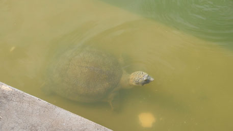 The black softshell turtles are trapped by the concrete wall erected around the lake. They topple back into water whenever they try to climb the steps in order to sun themselves