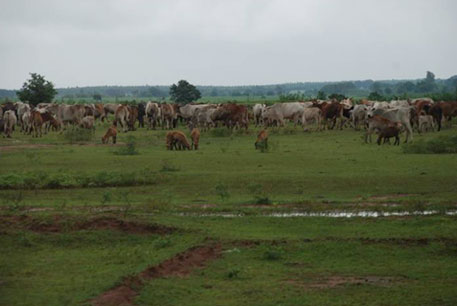 Degraded lands and herds of cattle along Odisha
