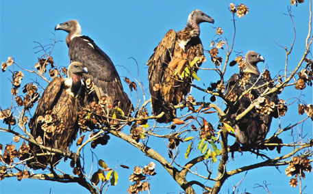 Diclofenac had pushed the white-billed vulture to near-extinction