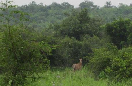 A Nilgai spotted inside the project site