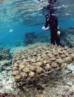 Seaweeds threaten corals