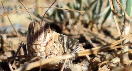 Locust repellents
