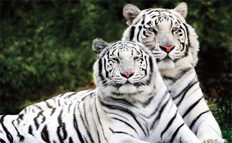Genome sequence reveals big cats evolved to kill, eat meat