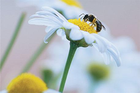 Diesel confuses bees