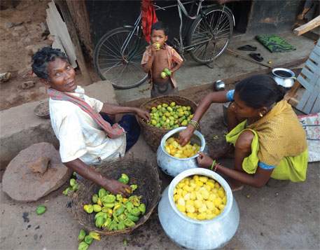 Every tribal family in Odisha's Rayagada district collects 300-350 kg mangoes in a season