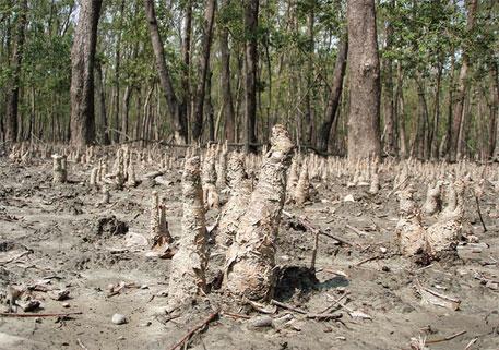 Sundarbans at risk