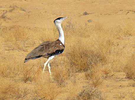 The Great Indian Bustard will disappear in the next two decades, says IUCN