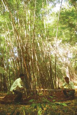 Bamboo rising