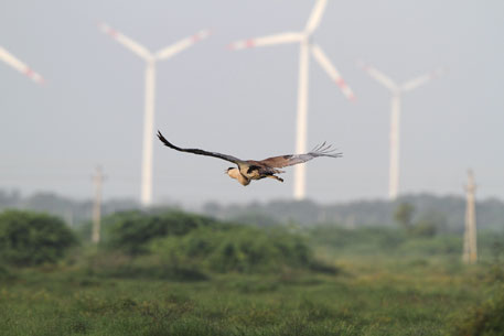 Undisturbed bustard habitats have disappeared due to development projects like energy, irrigation & roads (Photo credit: Nirav Bhatt/Conservation India)