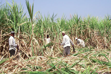 Sugarcane has cut into the acreage of traditional millet crops, crucial for fodder