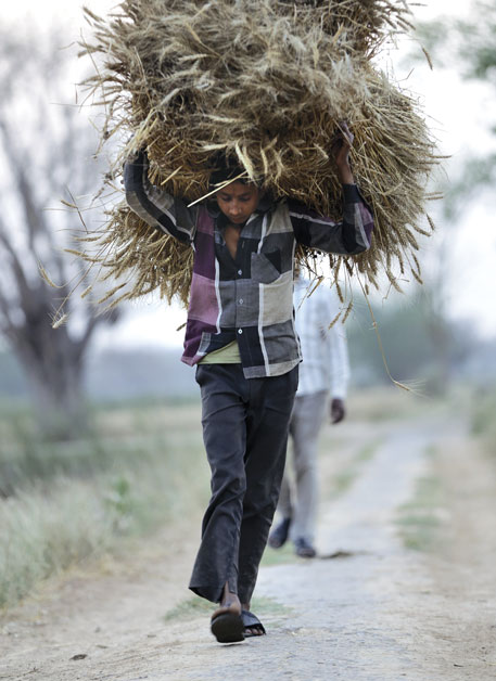 A farmer returns with blighted wheat crop in Kacchipurva village in Banda district, Uttar Pradesh. Most farmers in the state lost their ready-to-harvest rabi crop due to unseasonal rains in February and March this year