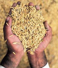 Arsenic eyes rice nutrients