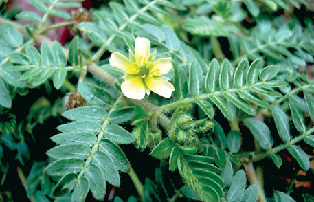 Sarata bhaji helps prevent kidney stones and heart problems and can be used to treat rheumatism and impotency