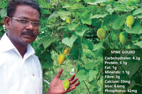 A team led by L K Bharathi tested the crossability between the species of gourd