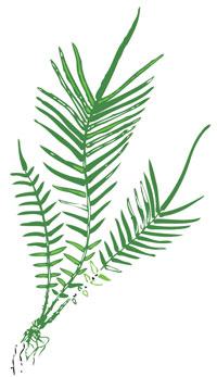 Ferns: heavy metal guzzlers