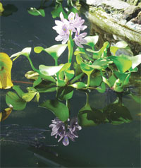 Water hyacinth is a rich source of carbohydrate polymers