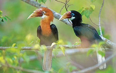 This bird is found only on Narcondam island in the Andamans. No one knows why