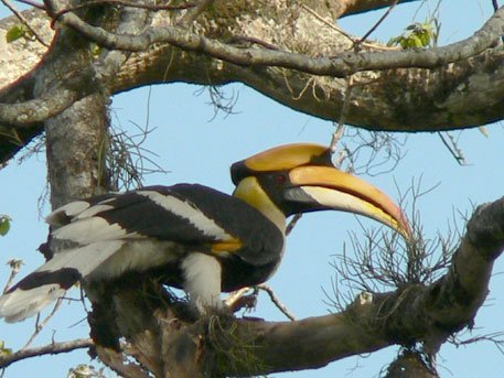 A Great Hornbill in Pakke tiger reserve. India has nine hornbill species, five of them are found in the Northeast (photo by Aparajita Datta)