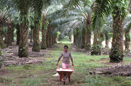 Which forests can be felled for oil palm plantations?