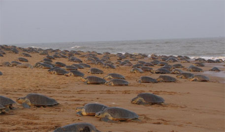 Olive Ridley turtles return to nest at Odisha sanctuary after two years