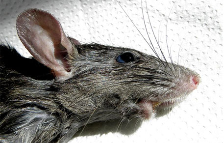 Rats not responsible for 'Black Death' in medieval Europe: study
