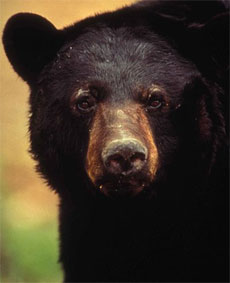 Florida moves closer to ending 20-year-old ban on bear hunt as attacks rise
