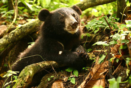Bear finds place in nation's conservation programme