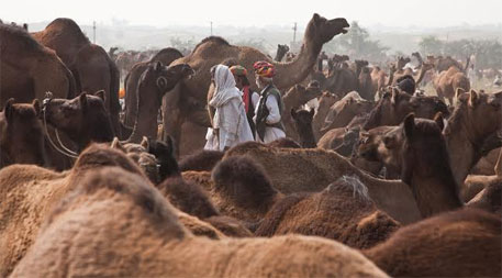 Rajasthan Assembly passes camel Bill to stop slaughter and restrict migration