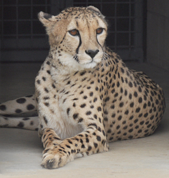 Supreme Court stalls Centre's plan to reintroduce cheetahs in India
