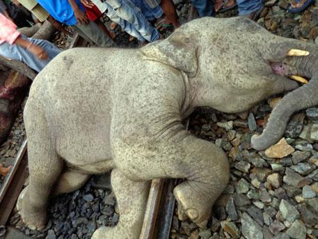 Three elephants die on Bengal's killer track