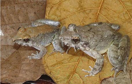 Indonesian frog species displays unique reproductive behaviour