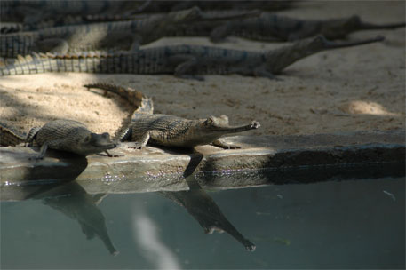 Bihar makes an attempt to boost gharial population