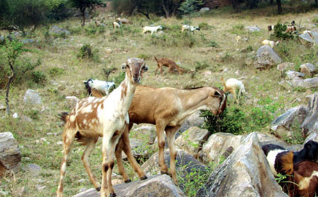 Huge disparity found in livestock census and NSSO data