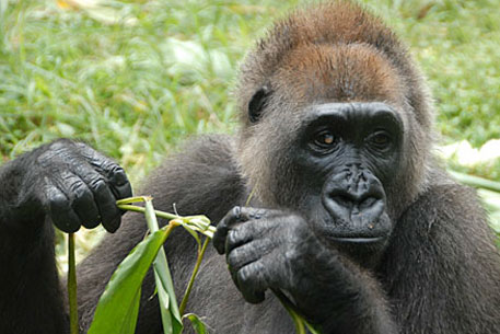 Nyango is the only know Cross River gorilla in captivity. She lives in the Limbe Wildlife Center in Cameroon (Image courtesy Wildlife Conservation Society)