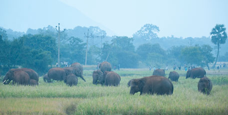 Elephants, migrated from Jharkhand's Dalma Hills, raid a paddy field near the Kuldiha sanctuary in Odisha