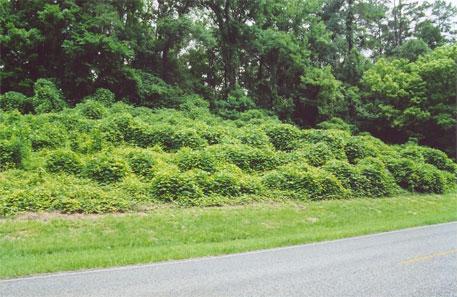 Invasive plant species like kudzu may be contributing to global warming