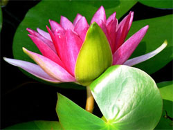 Sacred lotus may hold secret of longevity
