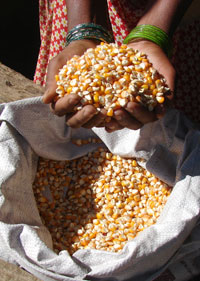 Gujarat drops Monsanto's hybrid maize