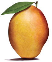 A mango variety developed from Alphonso can withstand climate vagaries