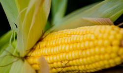 US farmers sue Syngenta over GM corn