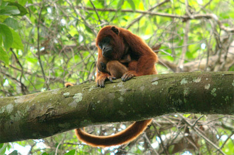 A Red Howler monkey with its young in the Peruvian Amazon (Photo Courtesy: Wikimedia Commons)