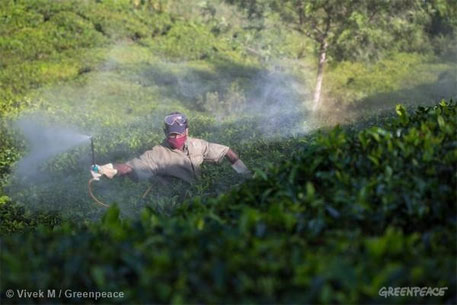 Prominent Indian tea brands contain pesticides: Greenpeace