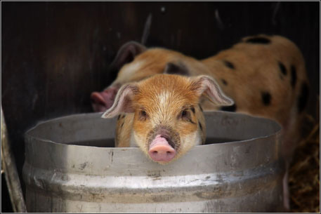 After US, deadly pig virus a big threat in Europe