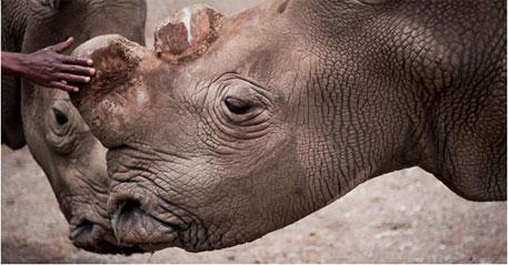 Northern white rhino on verge of extinction