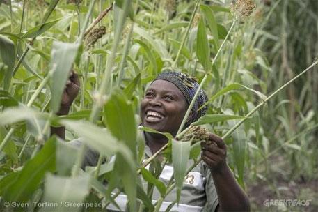 Kenya farmers turn to sorghum for food security