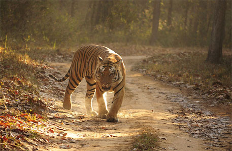World's tigers should be classified into two species only, says study