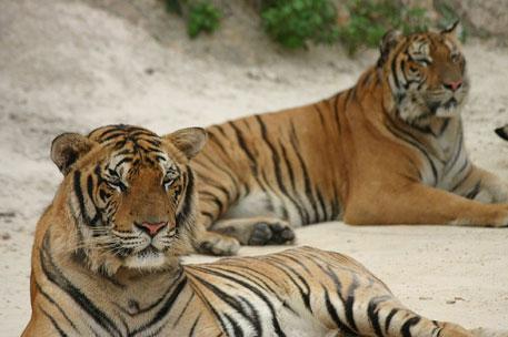 China admits to tiger skin trade at international forum