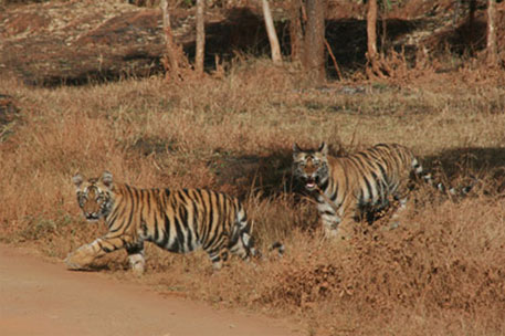 India's tiger population bounces to 2,226 from a low of 1,411