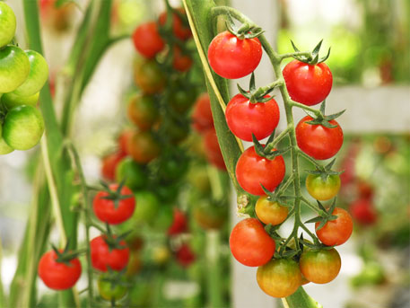 A tomato a day can keep prostate cancer at bay