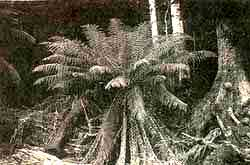 Ferns such as this giant in Au